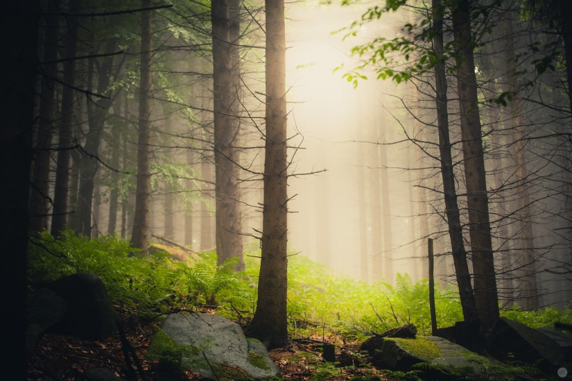 mist-in-the-woods_002_online