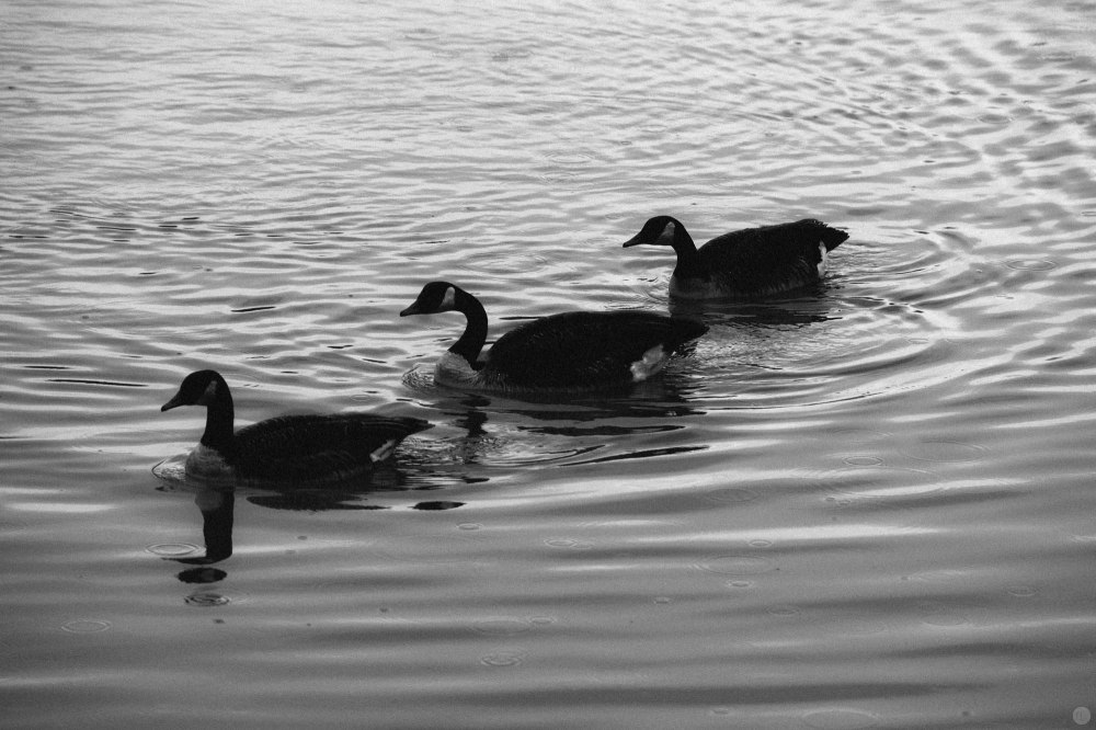 2014-online_1184_three-take-a-swim_001